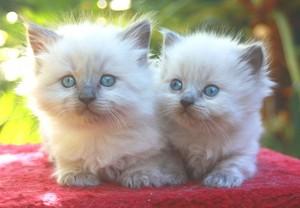 cute ragdoll kittens