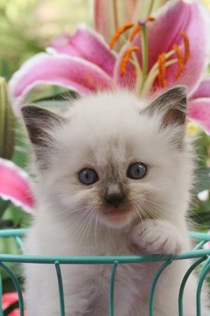 cute ragdoll mèo con