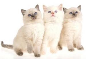 cute ragdoll gatitos