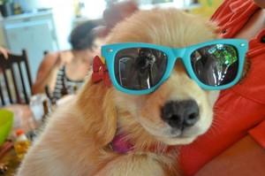 狗 wearing sunglasses