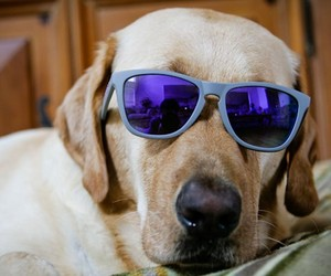chiens wearing sunglasses