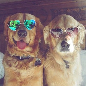 cachorros wearing sunglasses