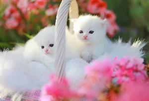 fluffy white बिल्ली के बच्चे