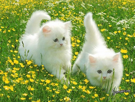 Cute Kittens Wallpaper Titled Fluffy White