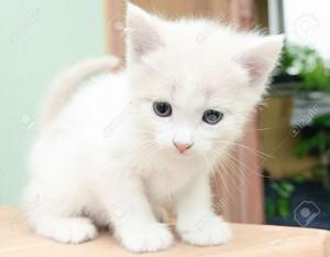 fluffy white 子猫