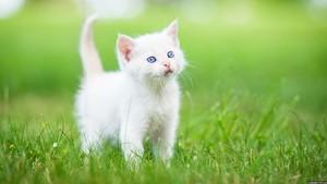 fluffy white Kätzchen