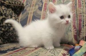 fluffy white 고양이