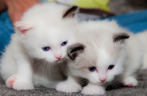 fluffy white 小猫