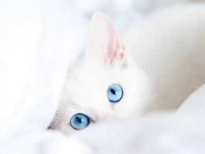 fluffy white gatitos