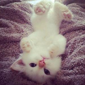 fluffy white mèo con
