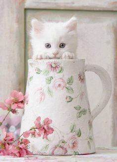 fluffy white kittens