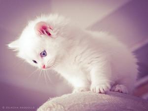 fluffy white বেড়ালছানা