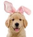 golden retriever Easter cucciolo