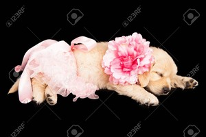 golden retriever щенок in ballerina costume