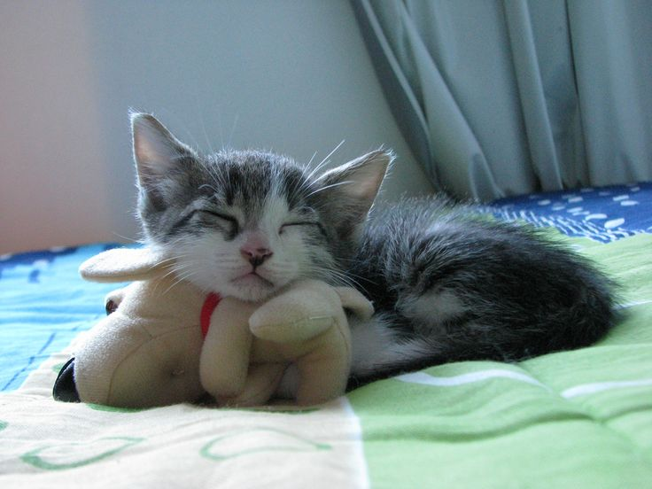 Kittens Images Kittens Sleeping With A Stuffed Animal Hd Wallpaper