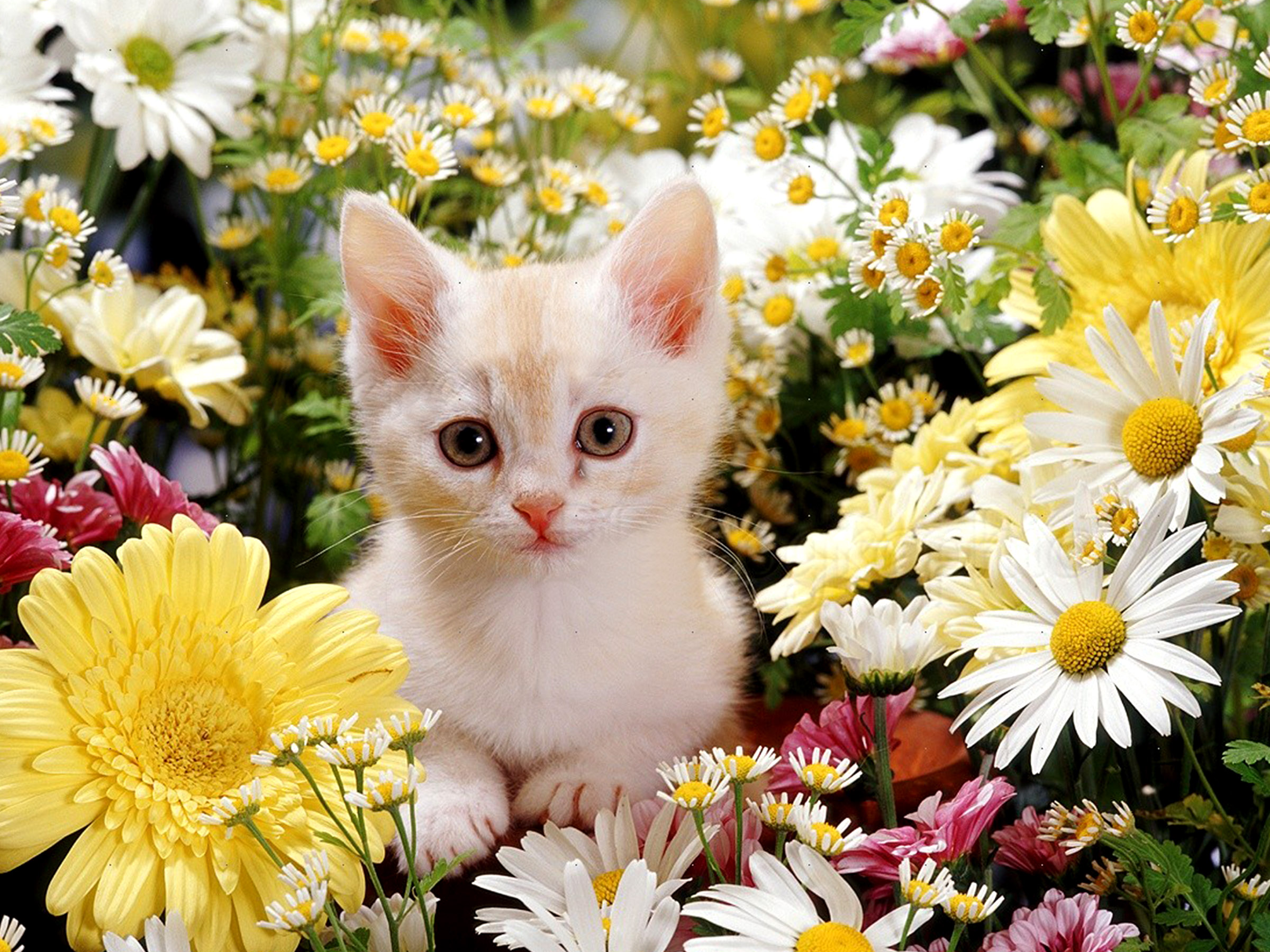 cute kittens images kitties and flowers hd wallpaper and background