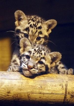 leopard babies*-*❤