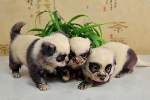 panda cachorritos