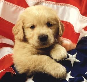 patriotic 강아지