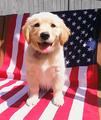 patriotic Cuccioli