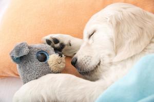 puppies sleeping with stuffed animals