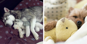 chiots sleeping with stuffed animaux