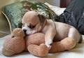 puppies sleeping with stuffed animals - greyswan618 photo