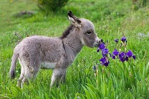 tiny donkey with ফুলেরডালি