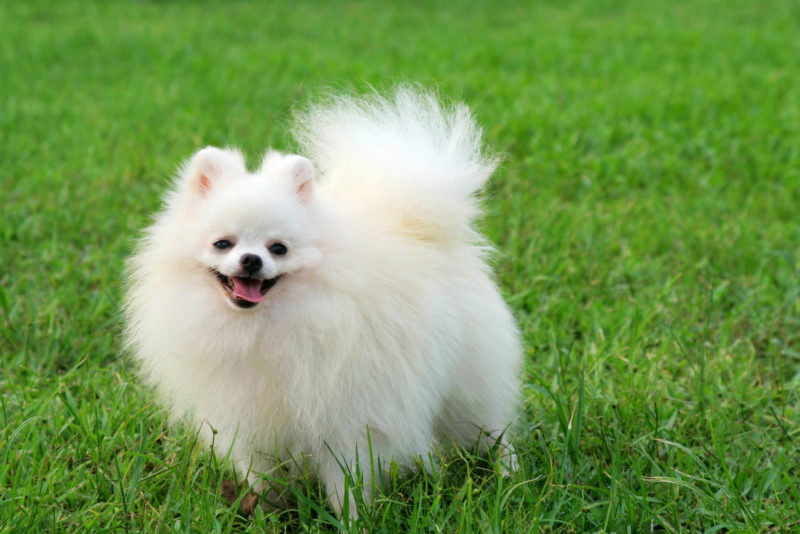 Ktchenor Images White Pomeranian Hd Wallpaper And Background Photos