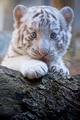 white tigri