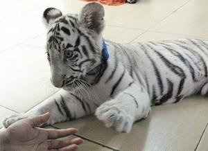 white Тигры