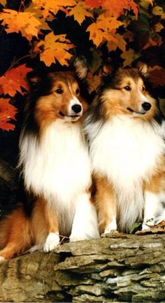 Autumn Shelties 🍂