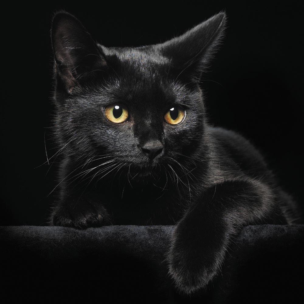 Cynthia Selahblue Cynti19 Images Beautiful Black Cat Hd Wallpaper