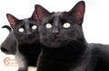 Beautiful Black Cats - cats wallpaper