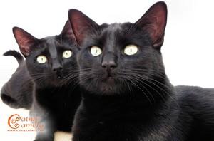 Beautiful Black gatos