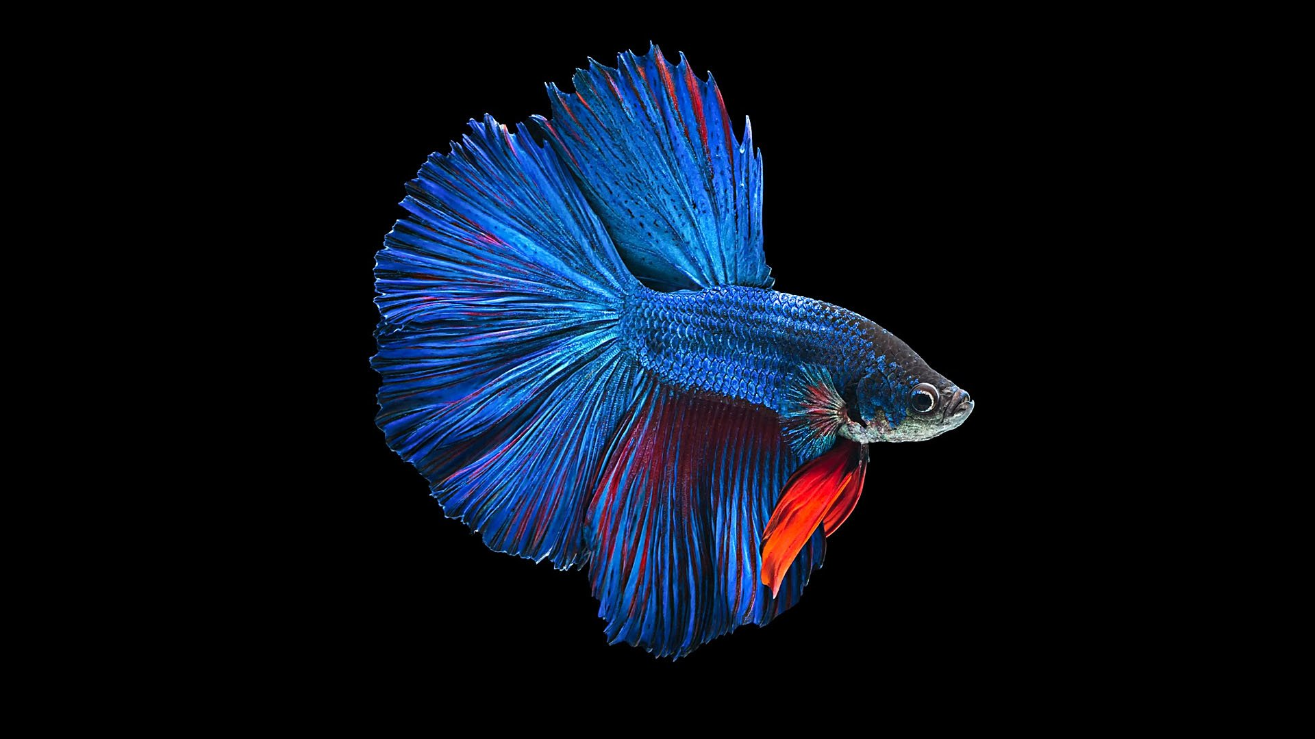 Betta ikan