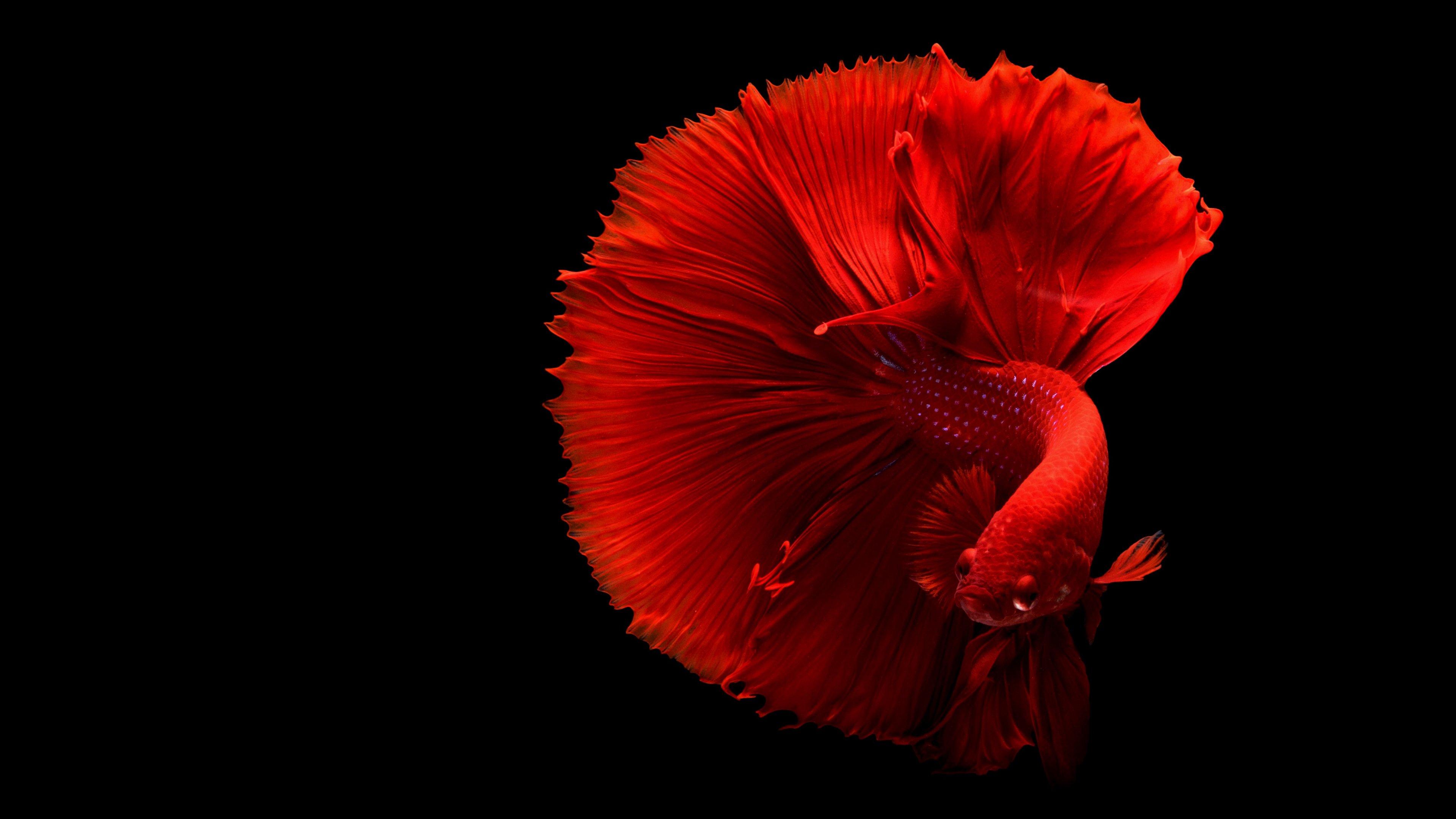 Betta মাছ