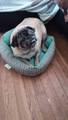 Boo Boo The Pug - pugs photo