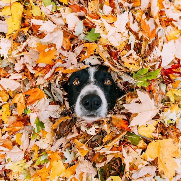 Fantastisch Border Collie, Border Collie Images Border Collies In Autumn 🍂 Wallpaper  And Background Photos