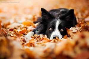 Border Collies In Autumn 🍂