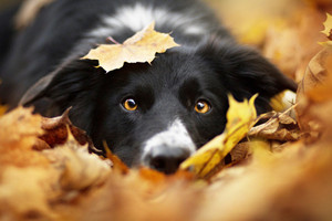 Border Collies In Autumn 🍂