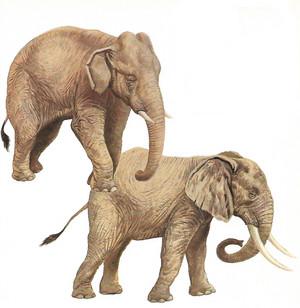 Elefante africano ed elefante asiatico