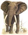 Elefante africano - elephants photo