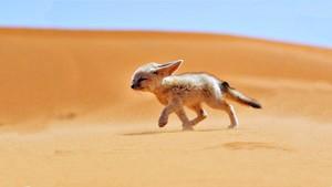 Fennec لومڑی (Algerian Sahara)