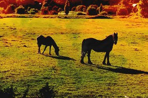 Horse and बछेड़ा
