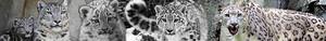 Snow Leopard banner