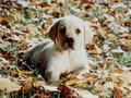 Sweet Autumn Pup 🍂 - yorkshire_rose wallpaper