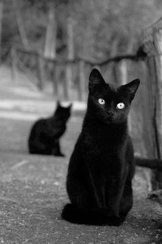 Two Beautiful Black kucing