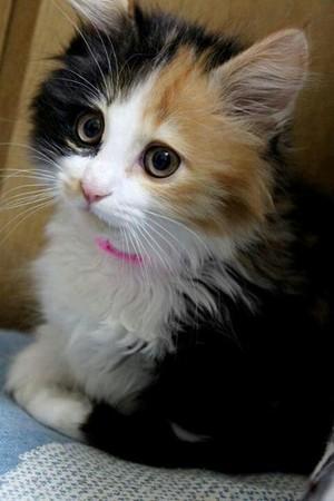 adorable calico বেড়ালছানা