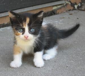 adorable calico mèo con